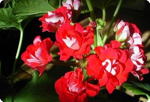 Цветы герани при бесплодии