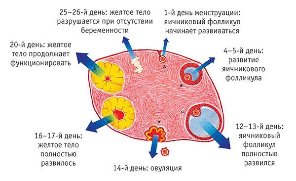 Схема созревания яйцеклетки.