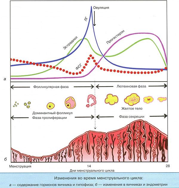 Как проходит менструальный цикл